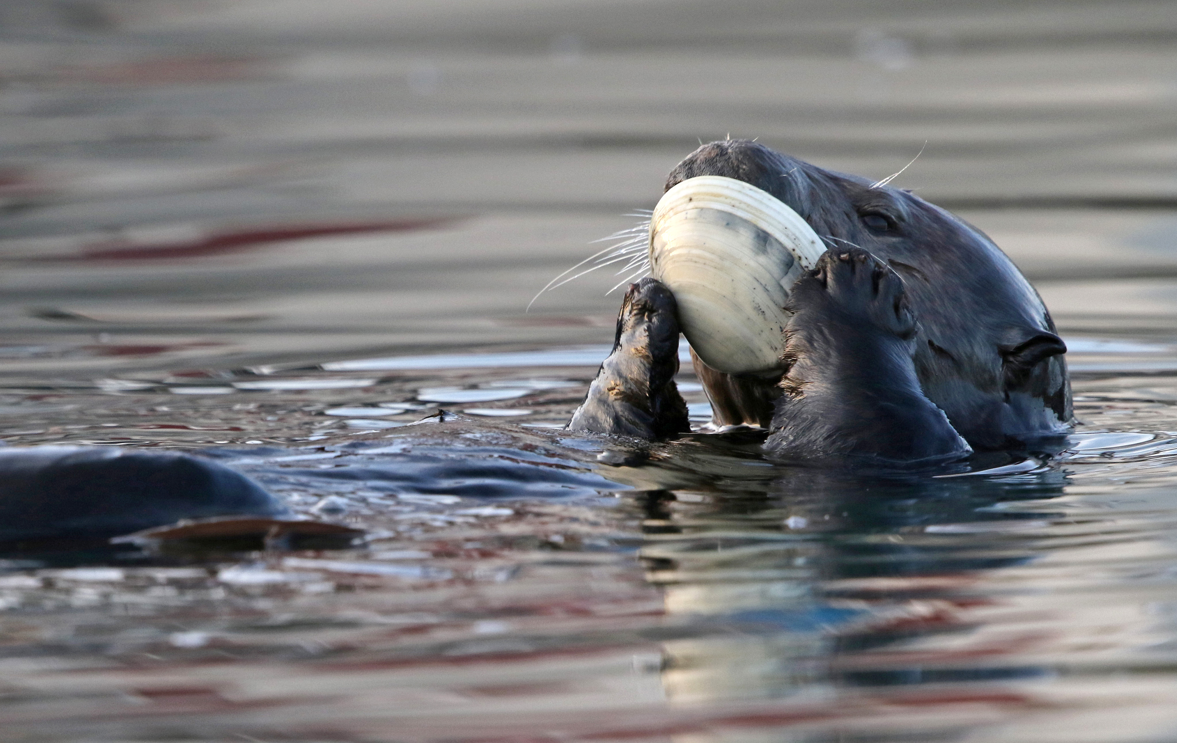 A sea otter eating a giant clam
